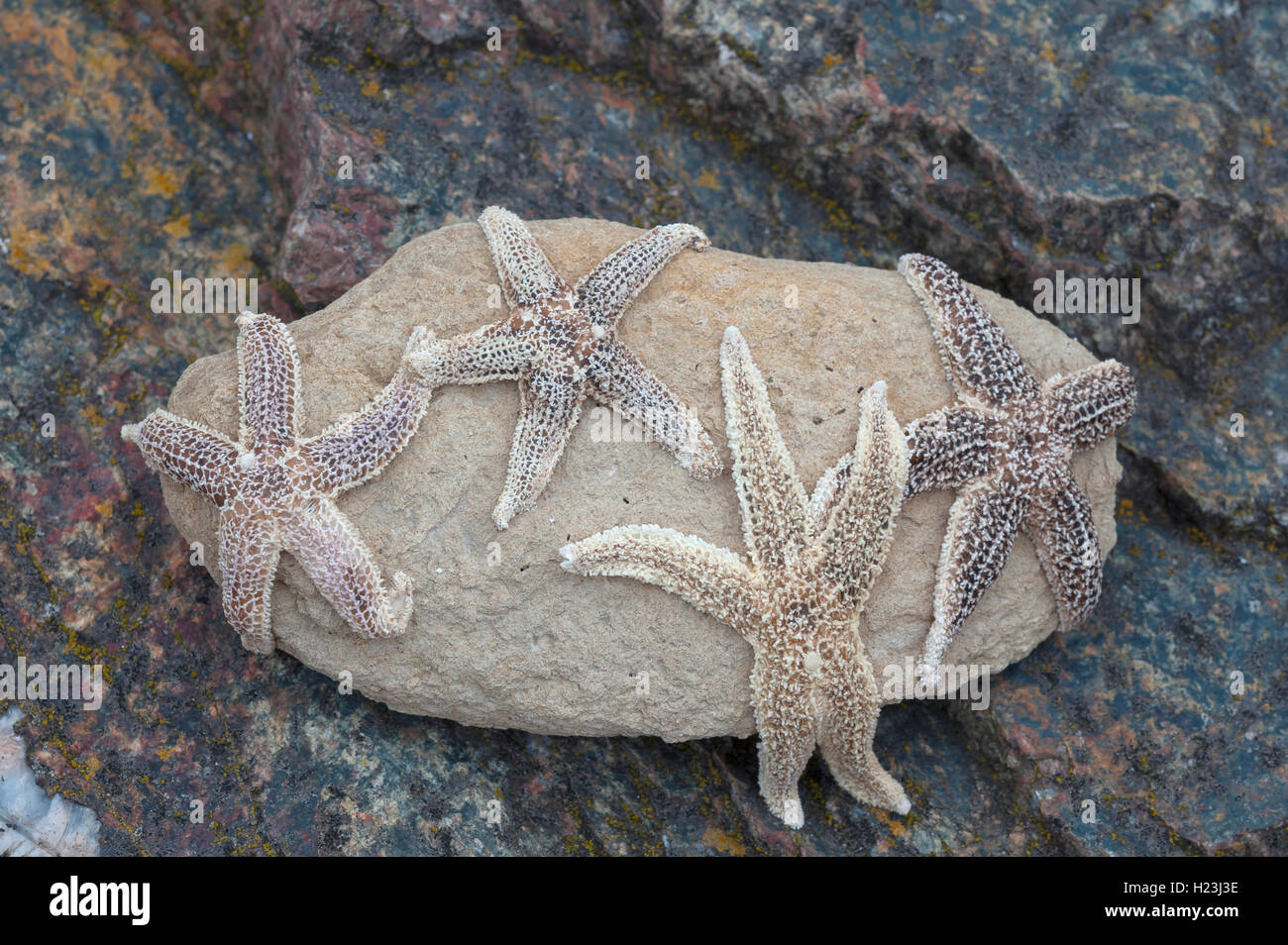 Starfish (Asteroidea) on a rock at low tide, Atlantic Coast, France - Stock Image