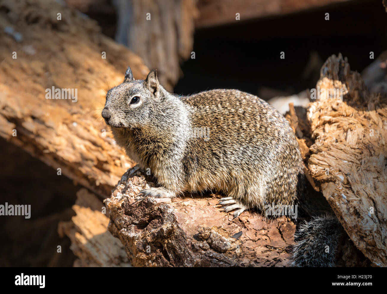 California ground squirrel (Spermophilus beecheyi), Yosemite National Park, California, USA Stock Photo