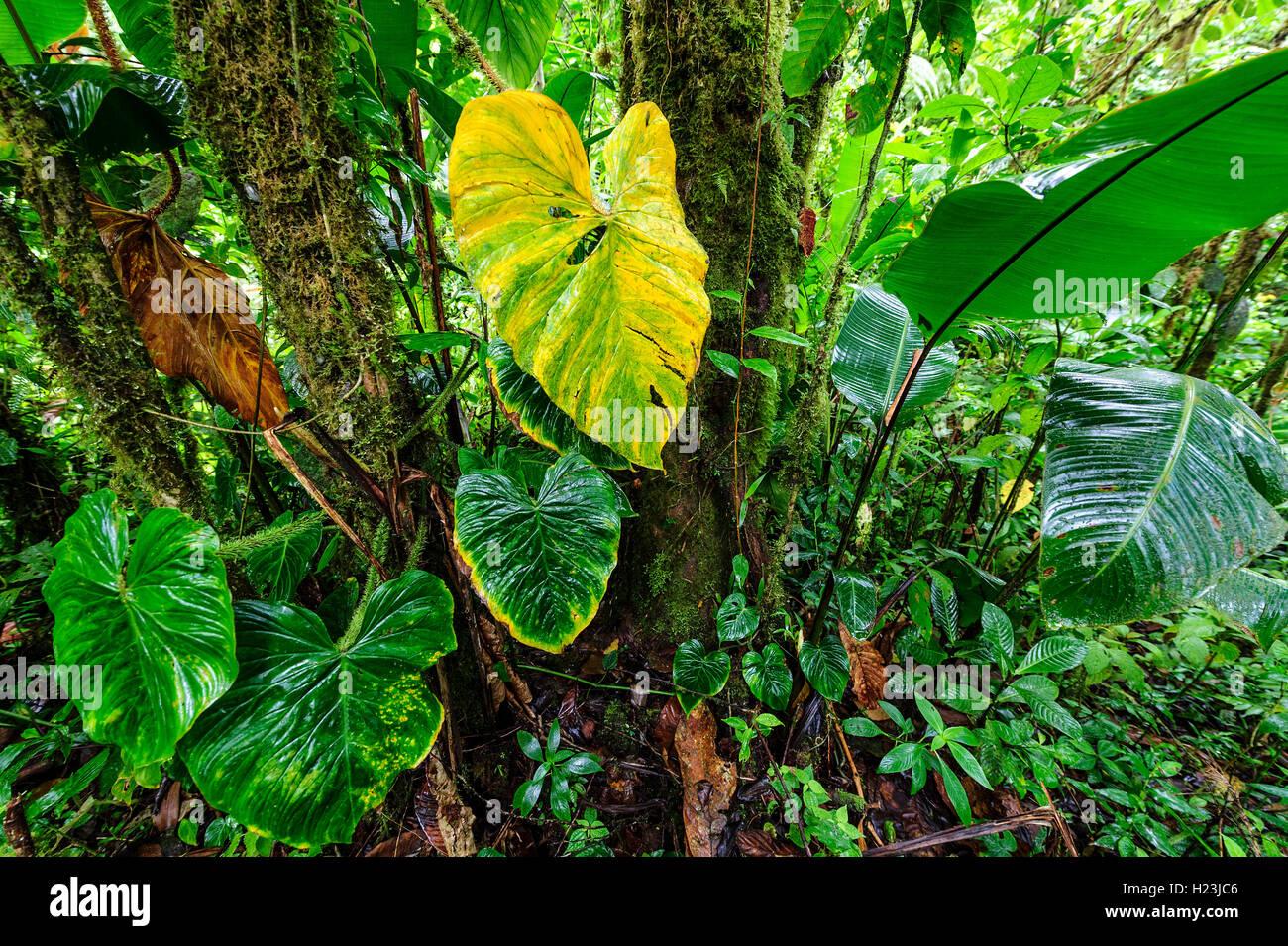 Rainforest vegetation, Corcovado National Park, Costa Rica - Stock Image