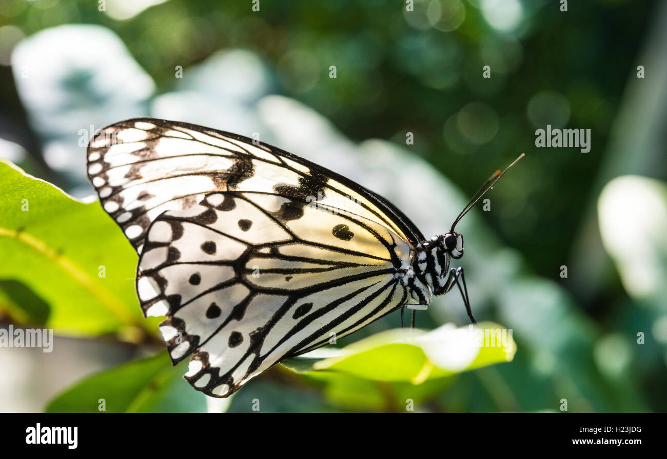 Paper kite, also large tree nymph or rice paper butterfly (Idea leuconoe), captive Stock Photo