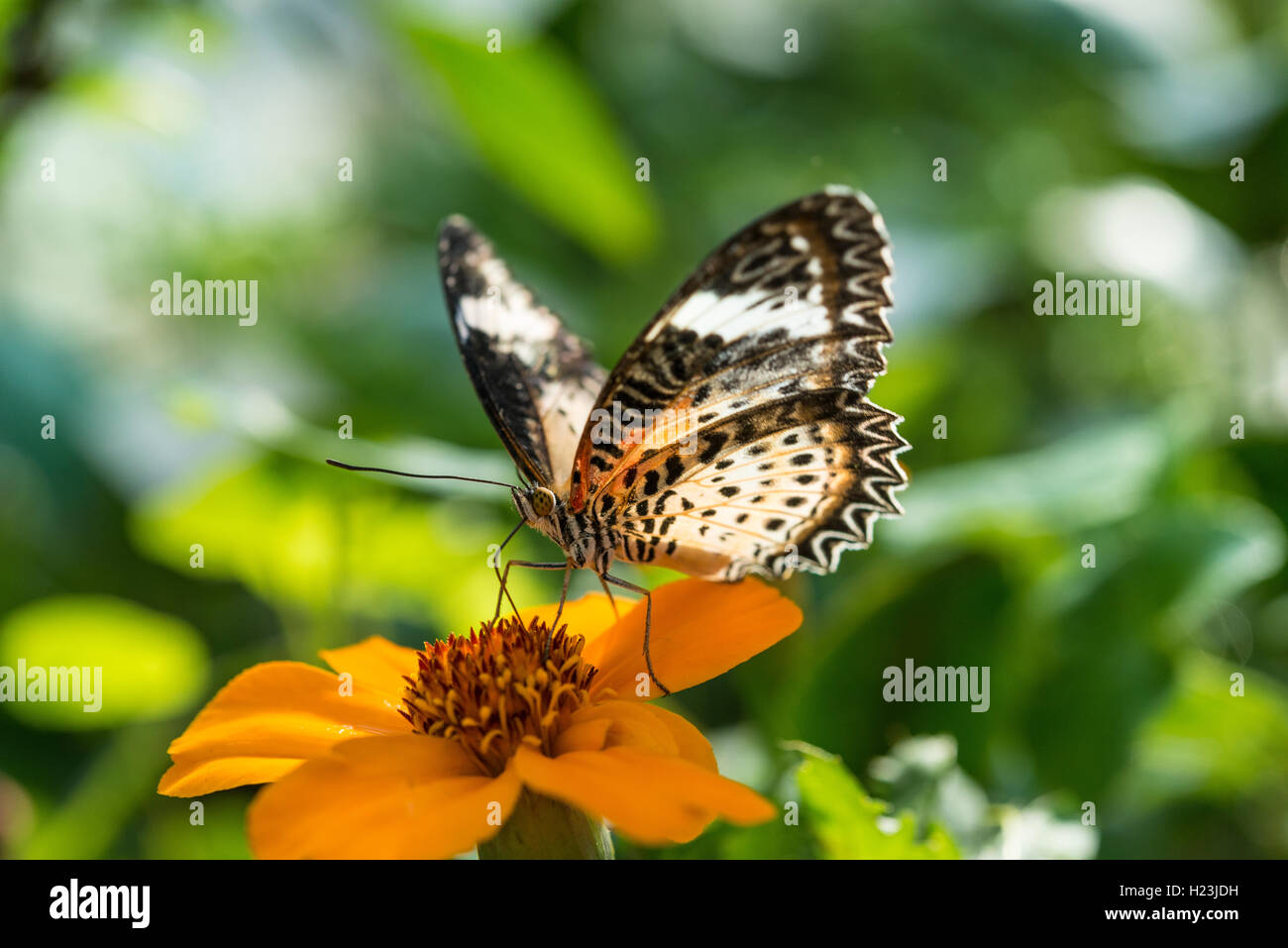 Brown or scarlet peacock (Anartia amathea) on flower, captive - Stock Image