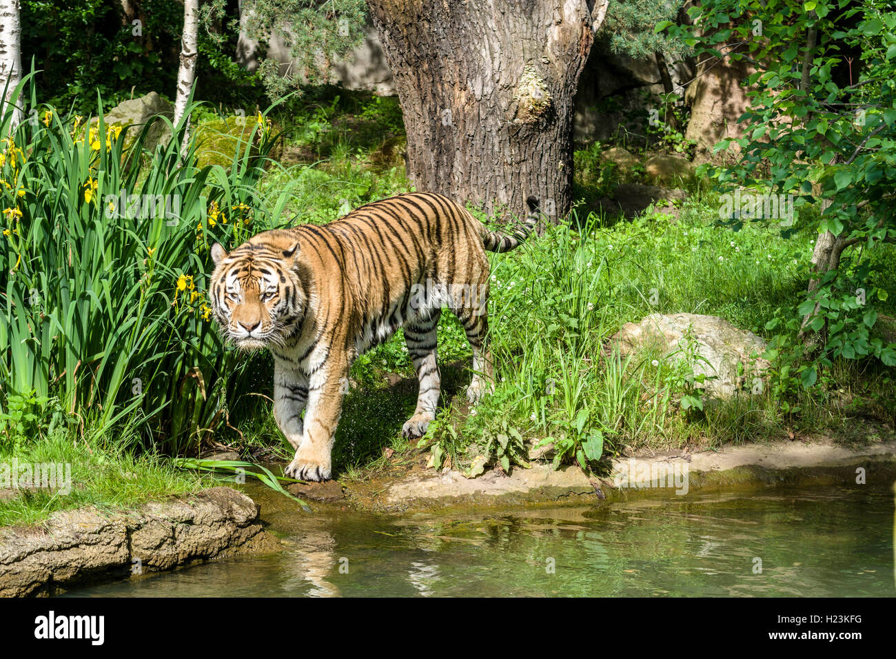Amur Tiger (Panthera tigris altaica), walking along a waterhole, captive, Leipzig, Saxony, Germany - Stock Image