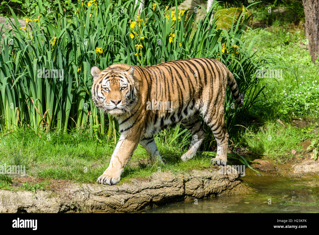 Amur Tiger (Panthera tigris altaica), walking along a waterhole, captive, Leipzig, Saxony, Germany - Stock Image