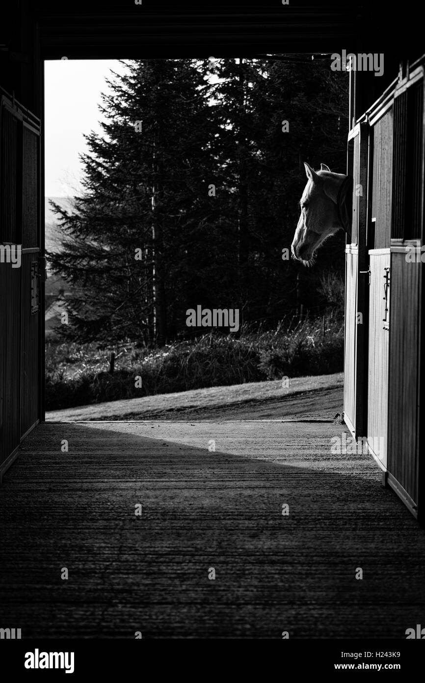 Male horse watching the sun go down from his stall in the stable converted to black and white - Stock Image
