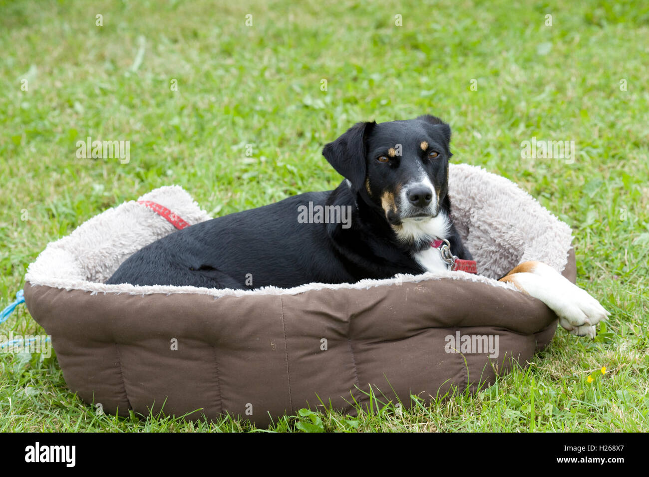 Dog relaxing outside in a dog bed - Stock Image