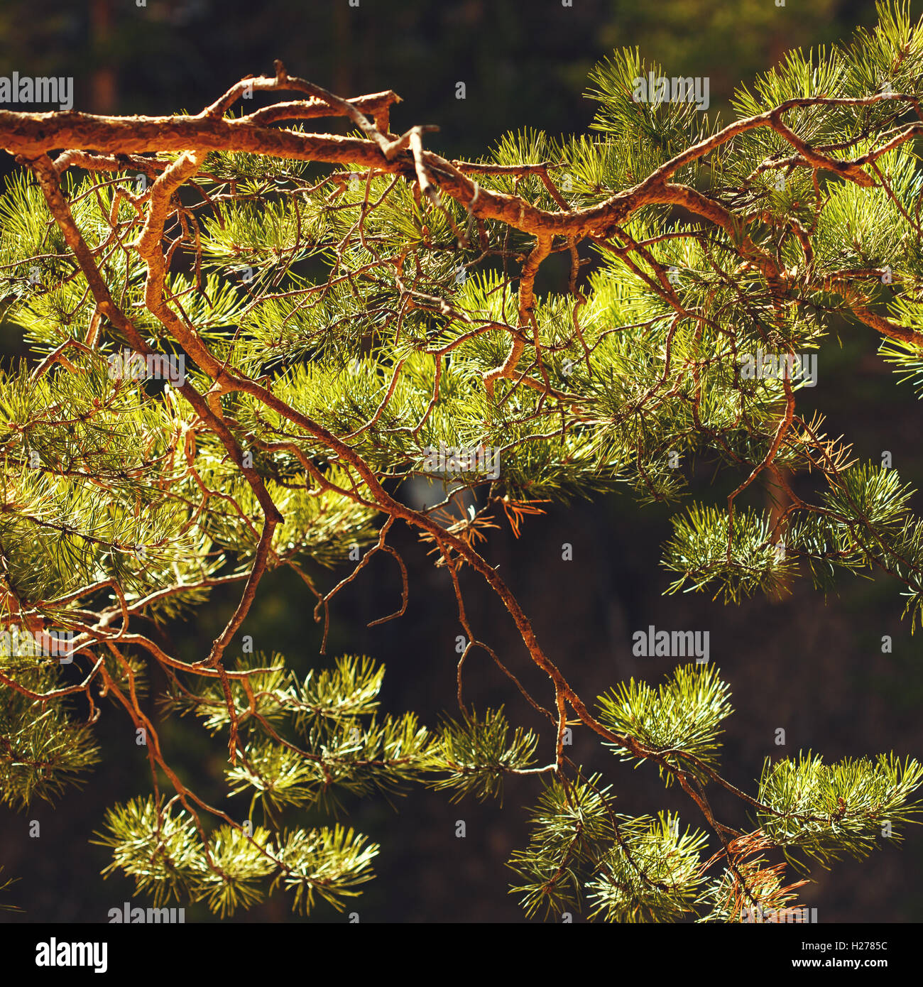 Pine tree branch close up, confierous tree - Stock Image