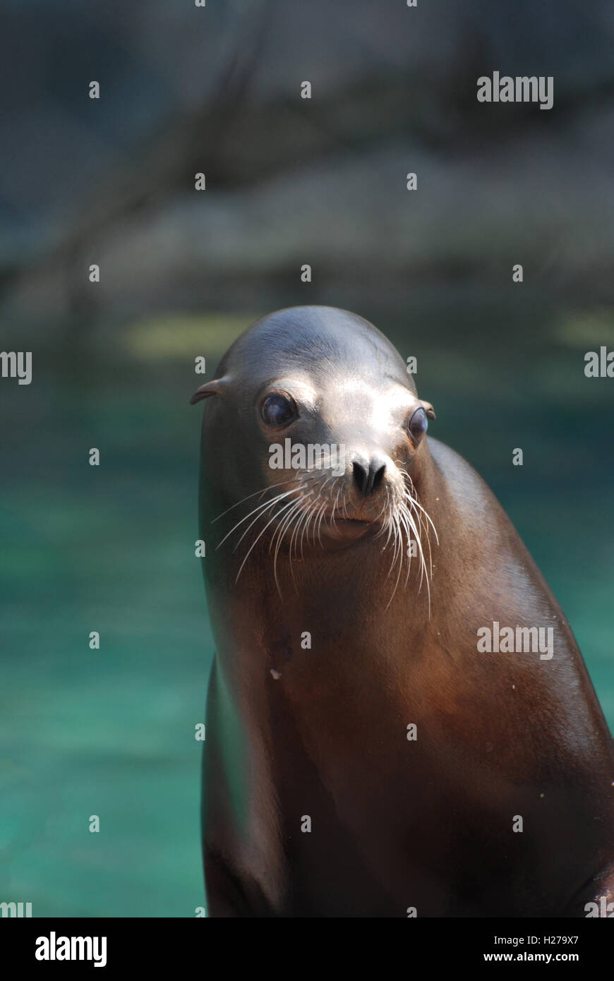 Really cute stellar sea lion beside the water. - Stock Image