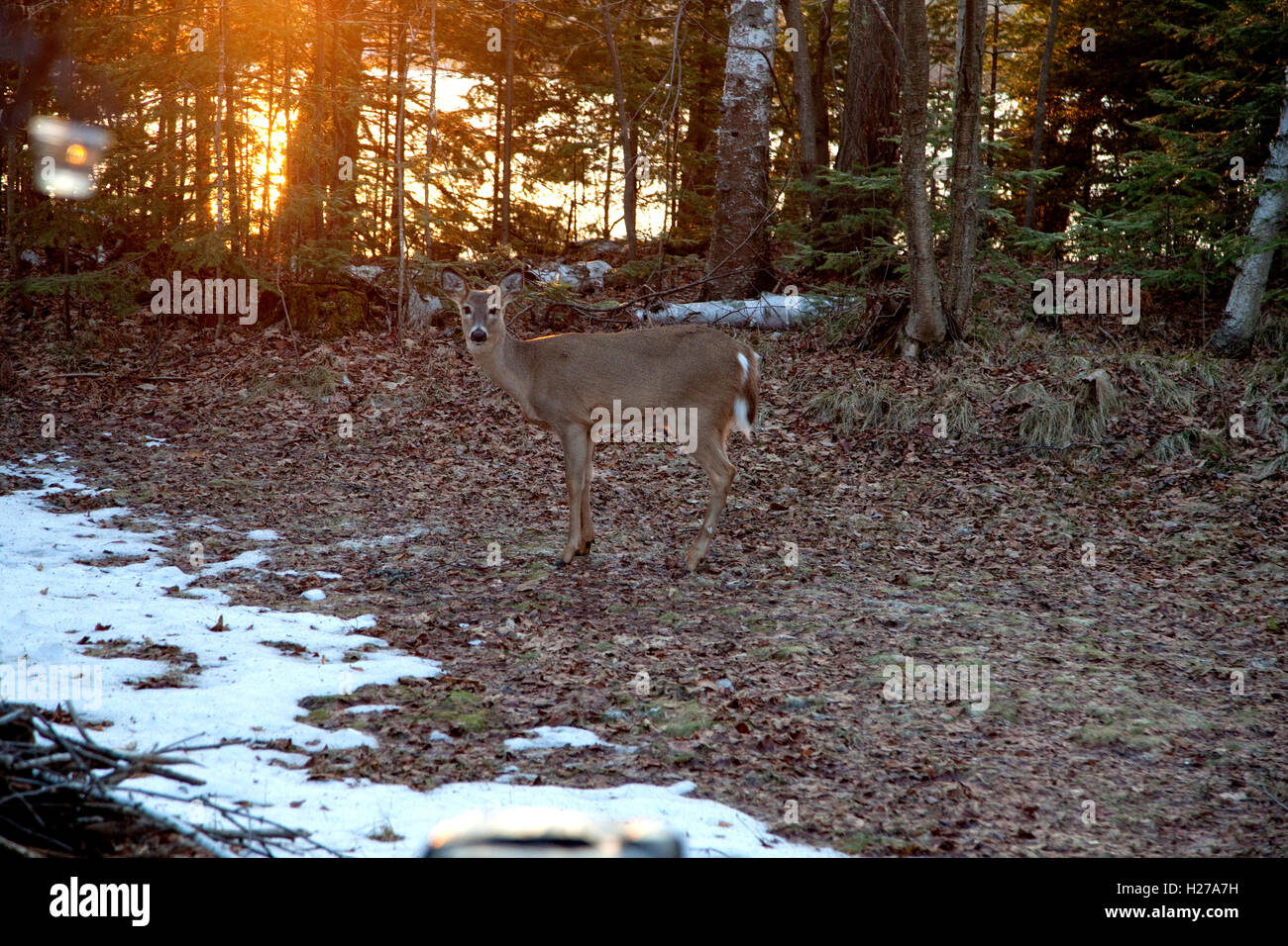 White tail doe deer in front yard of cabin on Lake Knotting. Cable Wisconsin WI USA Stock Photo
