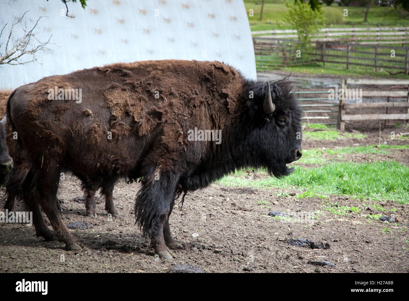 Buffalo an American symbol fenced in on a ranch. Pierz Minnesota MN USA - Stock Image