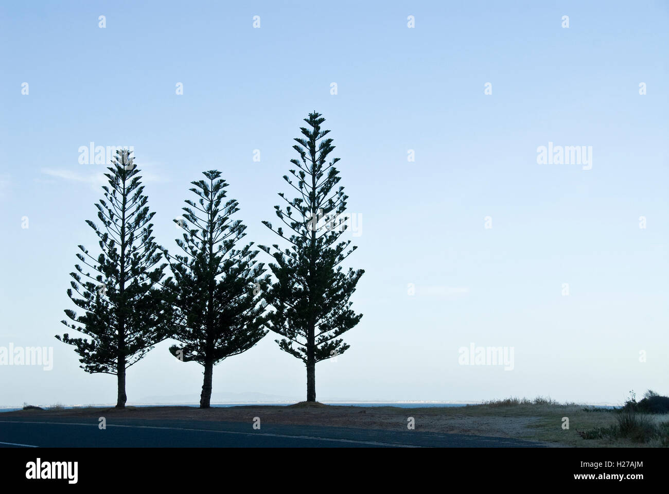 Three conifer trees silhouetted against a blue evening sky. - Stock Image