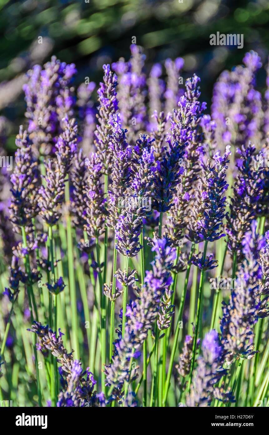 Valensole, Alpes de Haute Provence, France Stock Photo