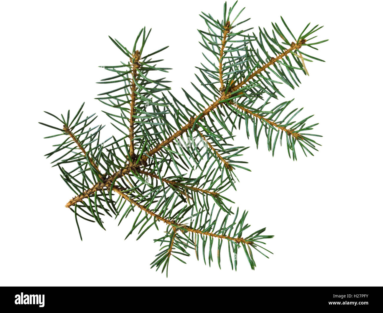 Branch of blue spruce isolated on white - Stock Image
