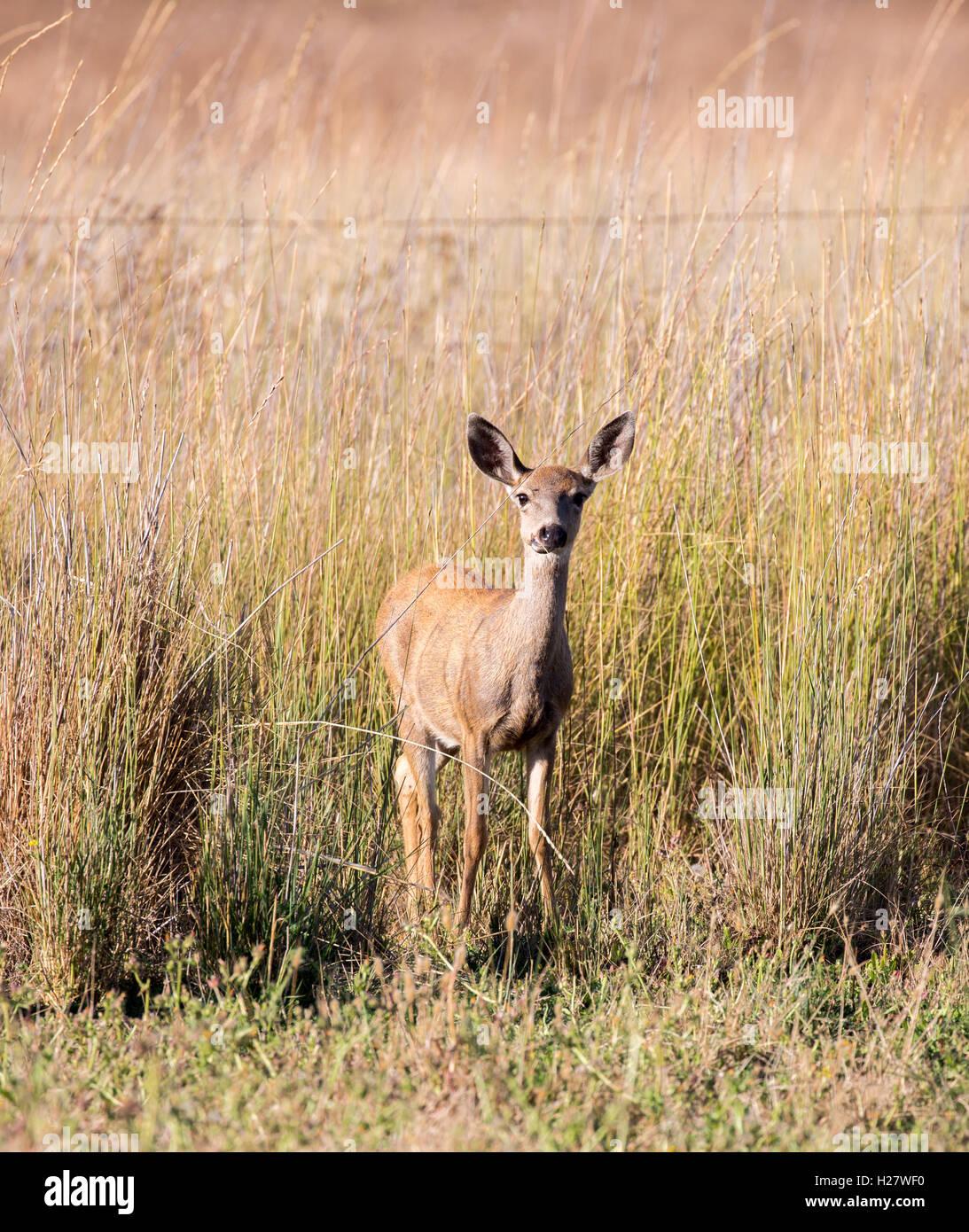Blacktail Deer Antlers Stock Photos Blacktail Deer Antlers Stock-8608