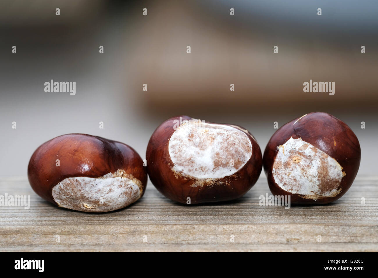 A group of three conkers lying on a wooden bench - Stock Image