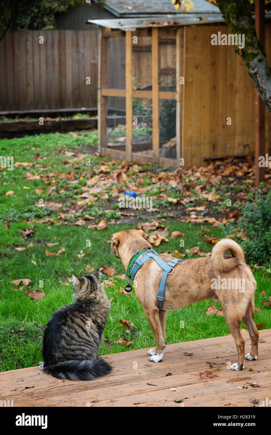 A cat and a dog on the back porch looking at the chicken coop - Stock Image
