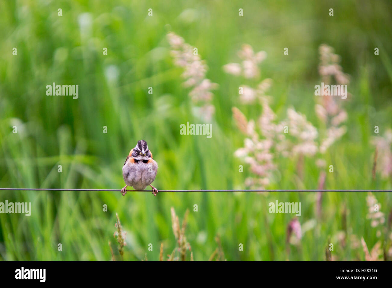 small sparrow on a wire in a field of tall grass looking at me Stock Photo