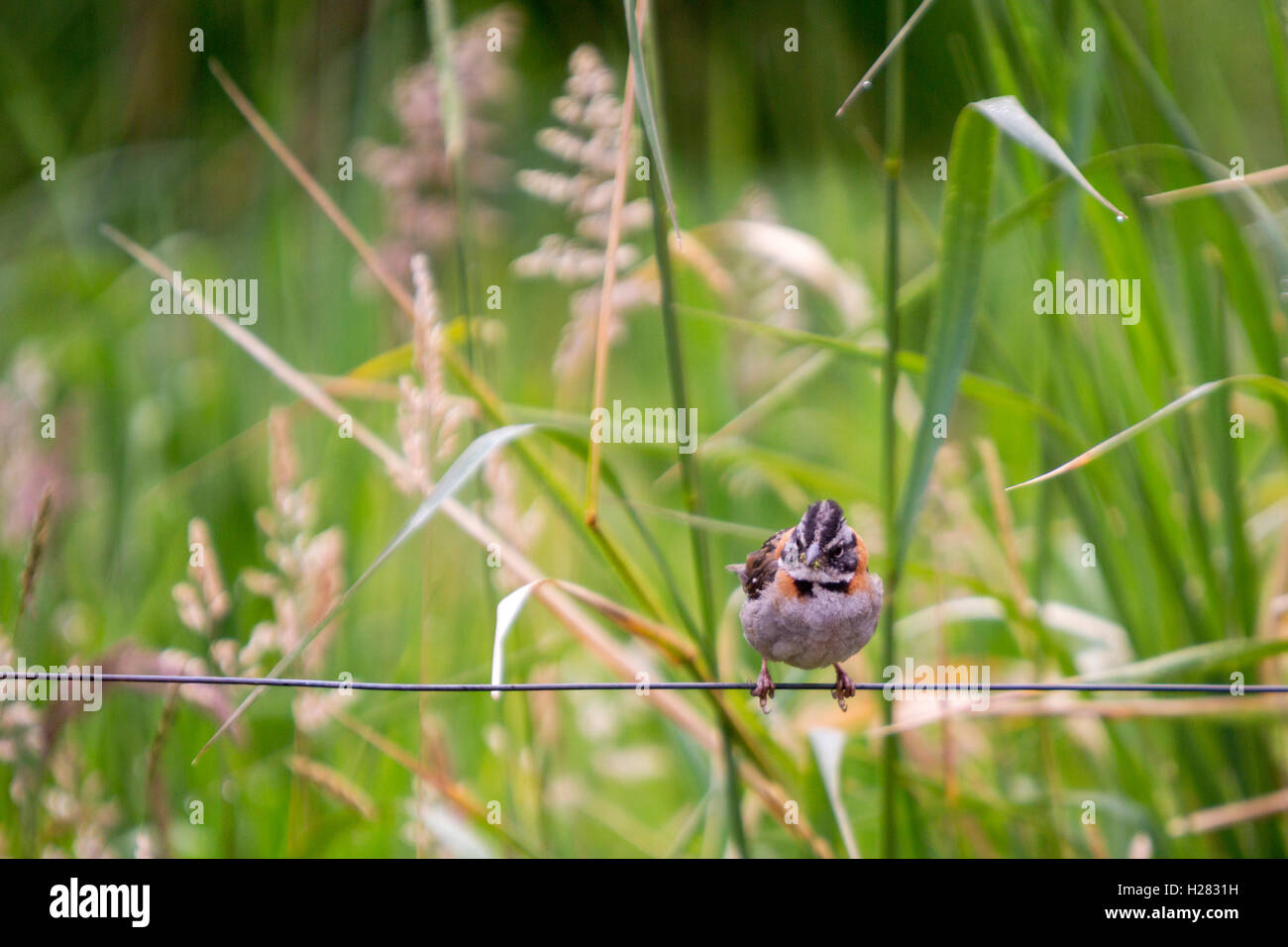tiny sparrow on a wire in a field of tall grasses Stock Photo