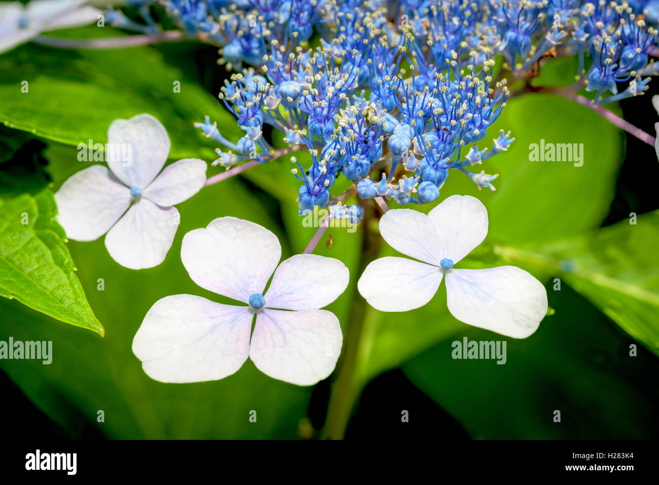 Shukkeien garden stock photos shukkeien garden stock images alamy unique and beautiful flower that is blue and white stock image izmirmasajfo