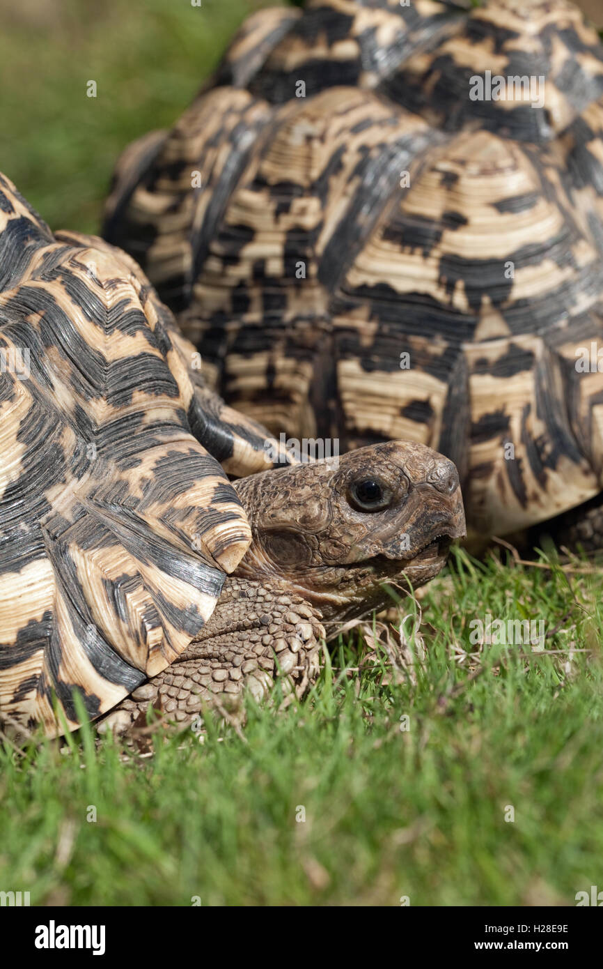 Leopard Tortoises Stigmochelys (Geochelone ) pardalis. One in front of another. - Stock Image