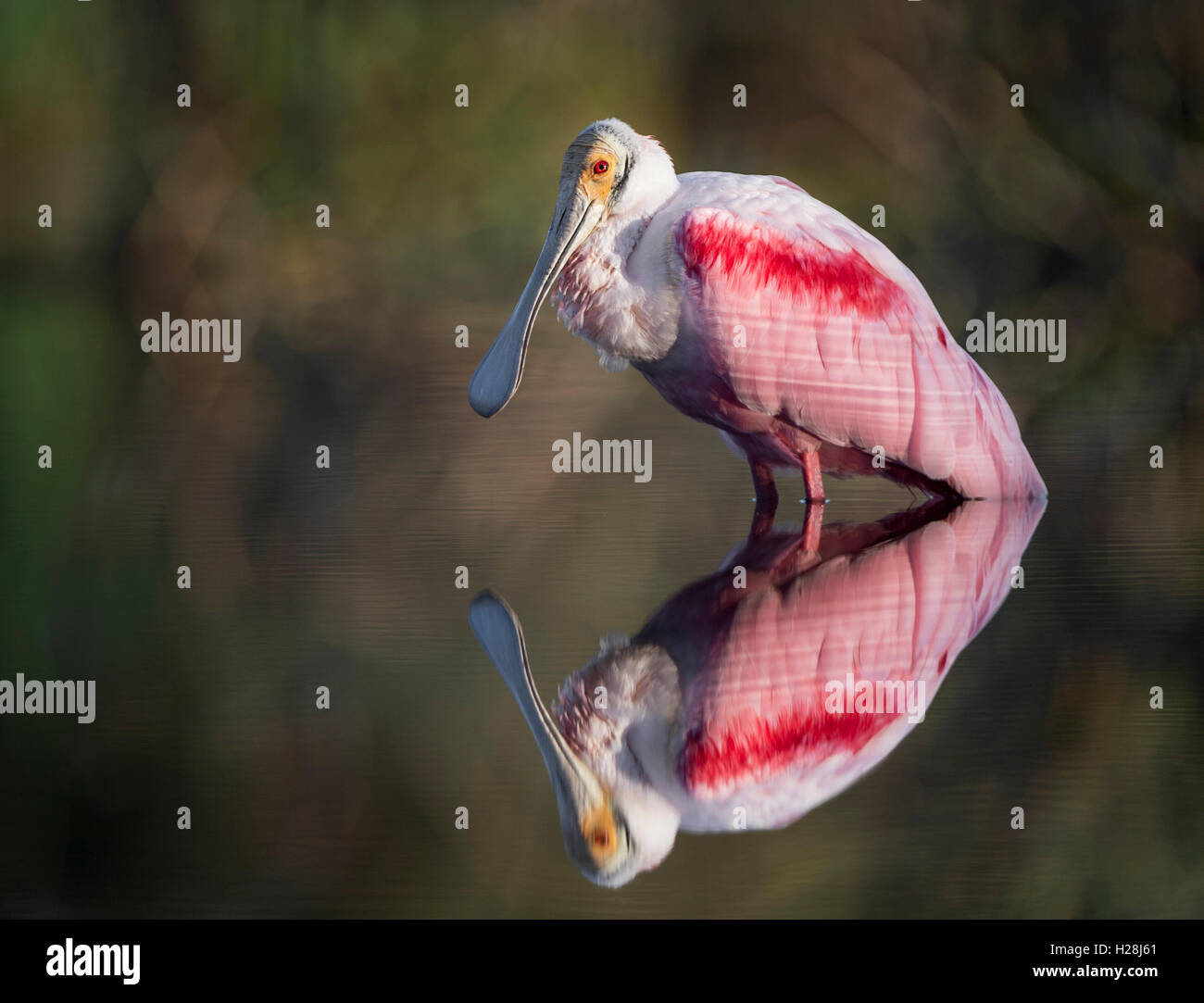 A Roseate Spoonbill stands in somewhat calm water which shows a nice reflection.  The background blends with the - Stock Image