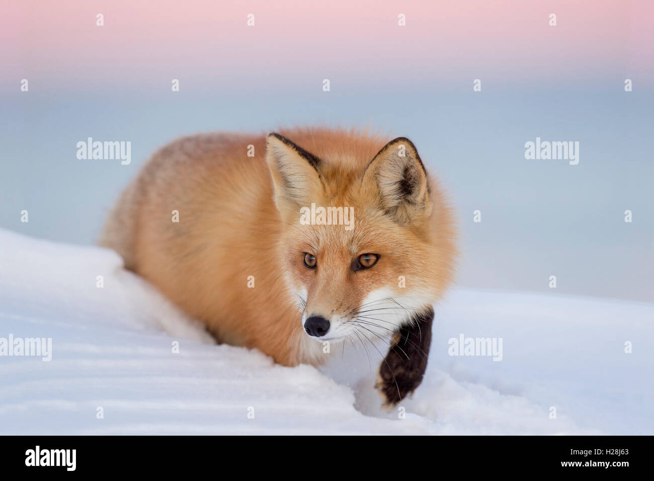 A Red Fox stalks though a deep snow a dusk with a pink and purple sky background. - Stock Image