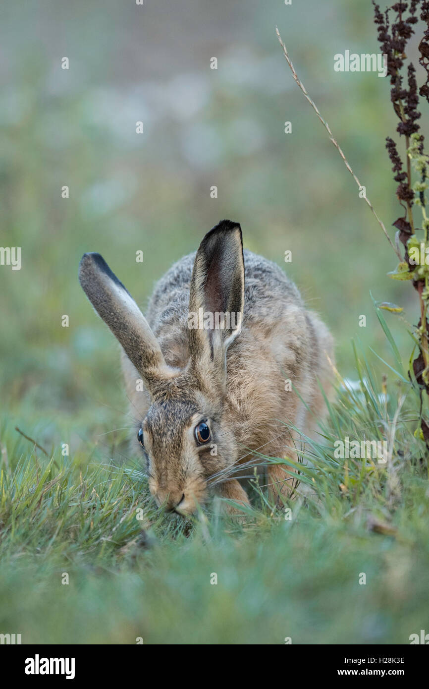 Brown Hare (Lepus europaeus) feeding. - Stock Image