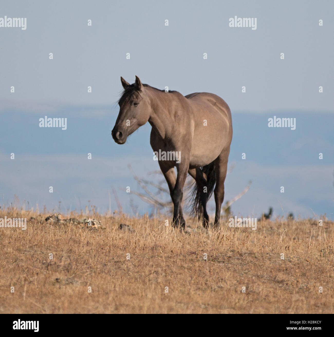 Wild Horse Grulla Gray colored Mare on Sykes Ridge above Teacup Bowl ...