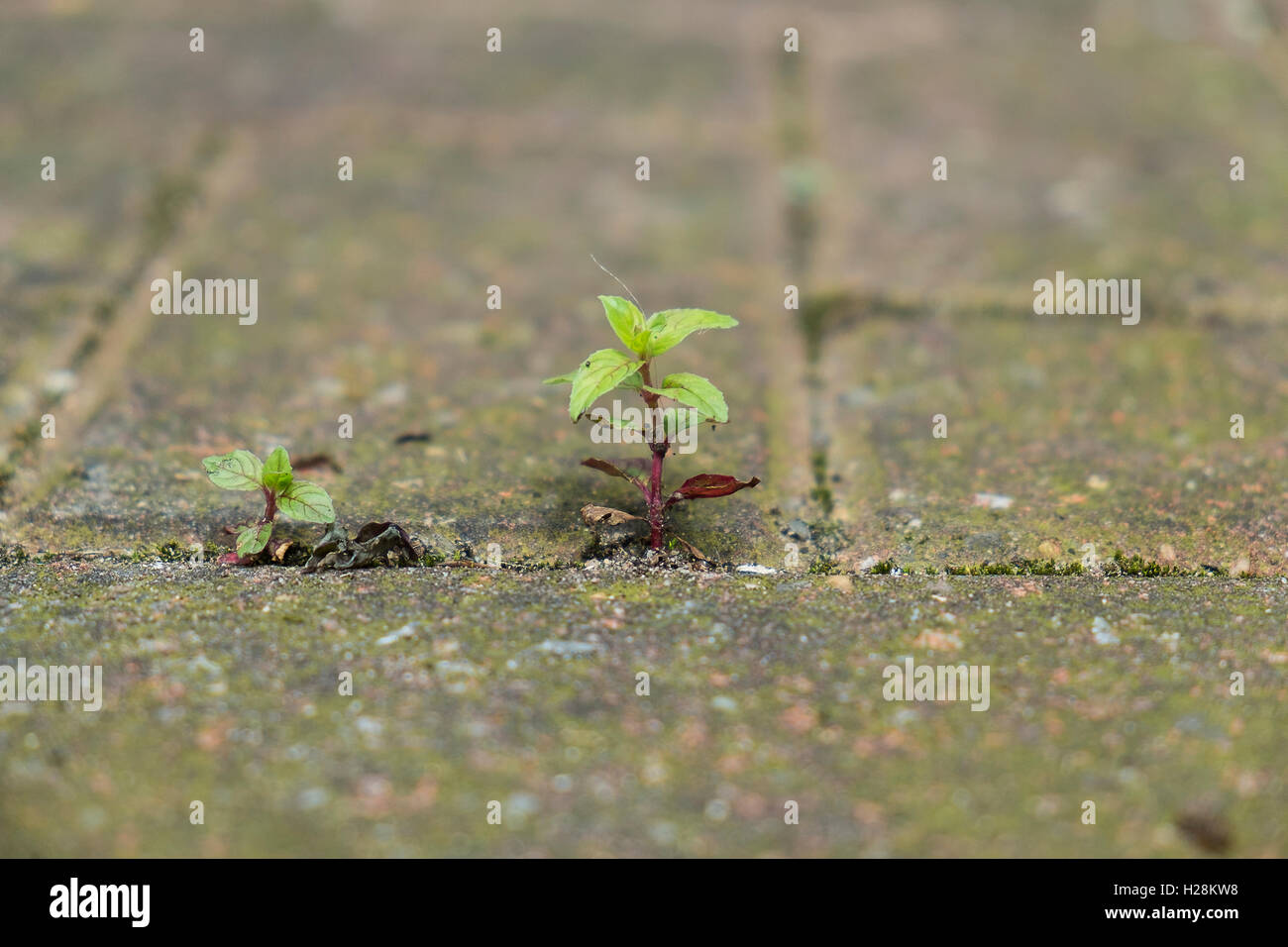 Small plant growing between bricks in paved yard - Stock Image