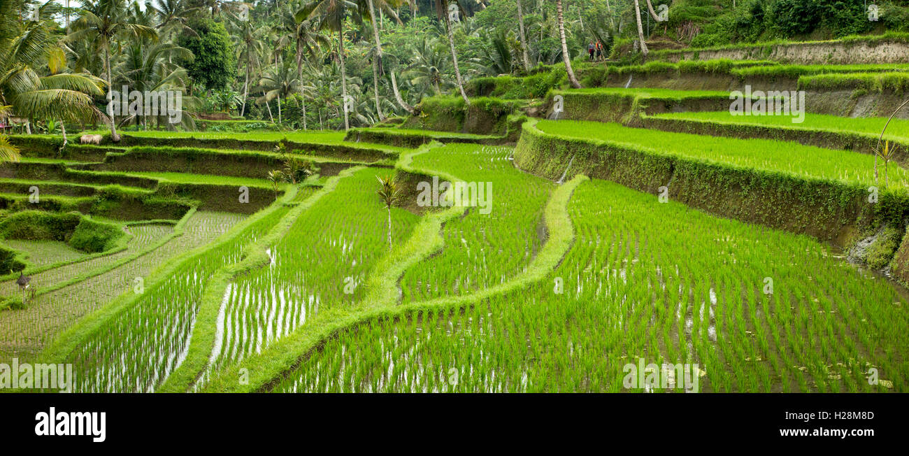 Indonesia, Bali, Tampaksiring, Gunung Kawi, steep terraced rice paddy fields, panoramic Stock Photo