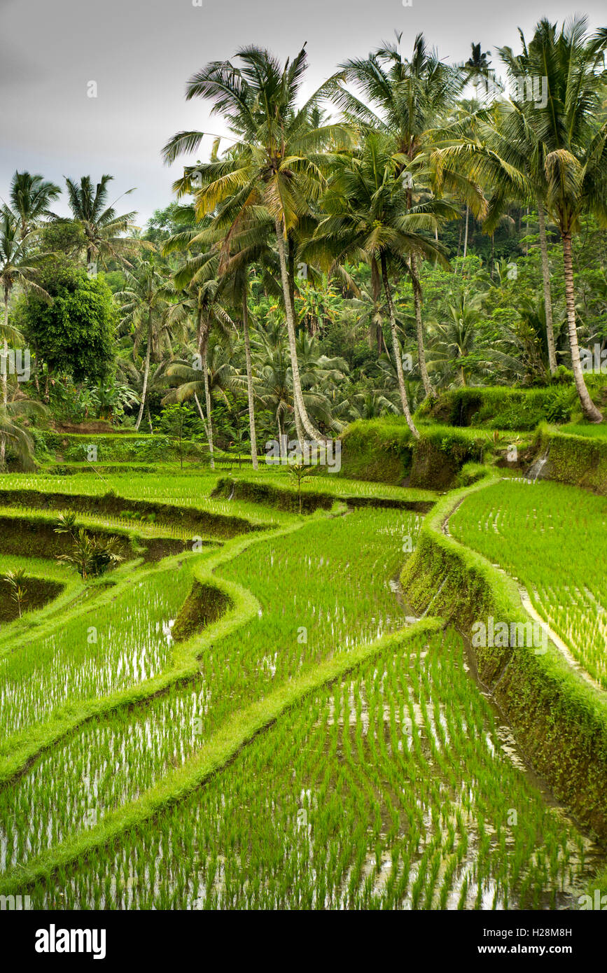 Indonesia, Bali, Tampaksiring, Gunung Kawi Temple complex, irrigated terraced rice fields - Stock Image