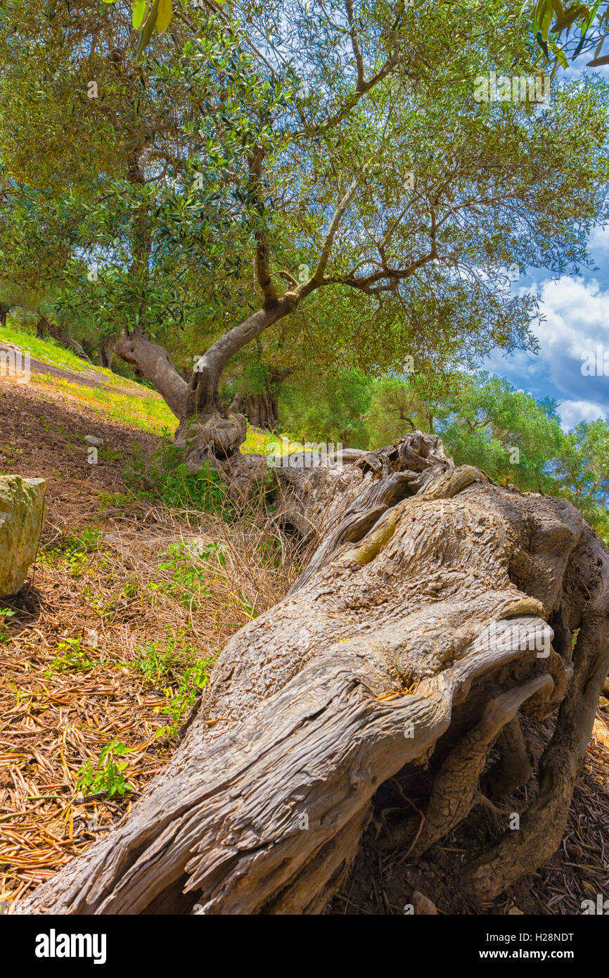 Italian Country: secular olive tree - Stock Image