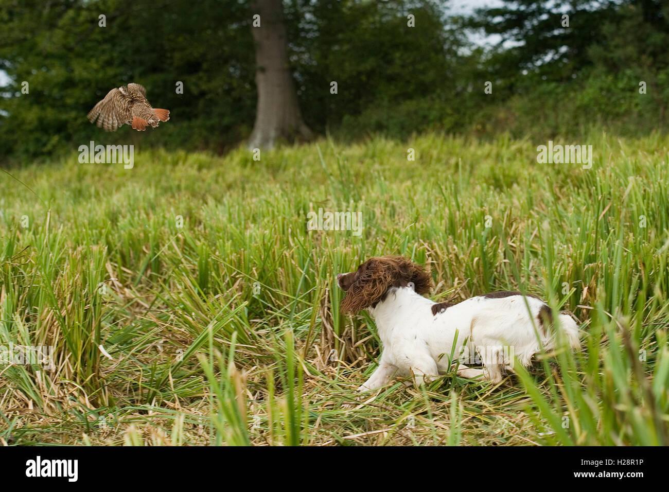 spaniel chasing partridge - Stock Image