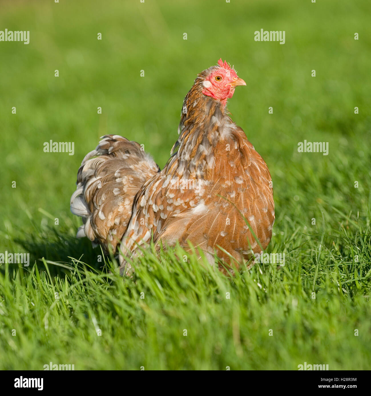 splash pekin bantam chicken - Stock Image