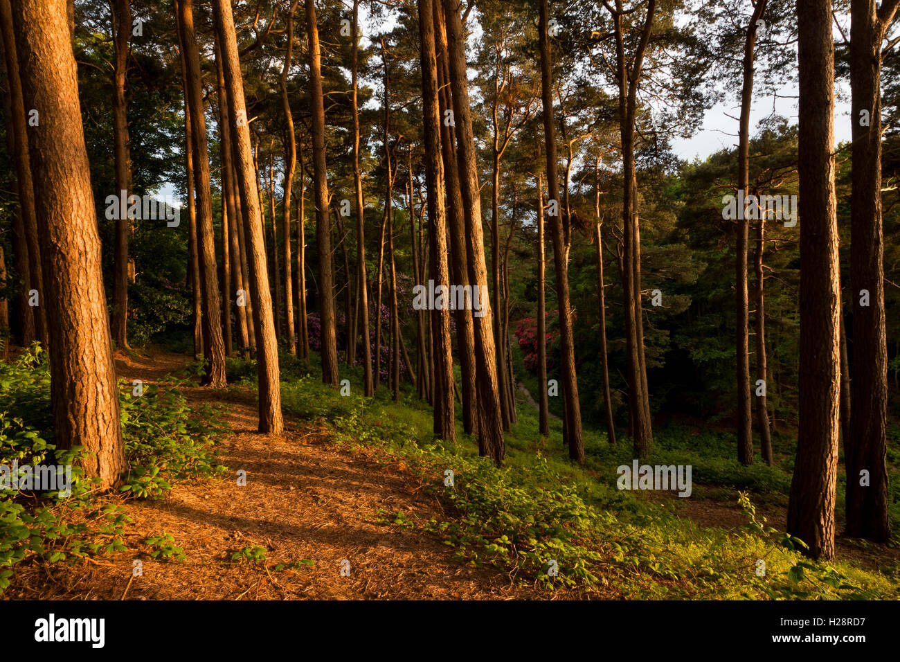 A path leading through tall conifer trees - Stock Image