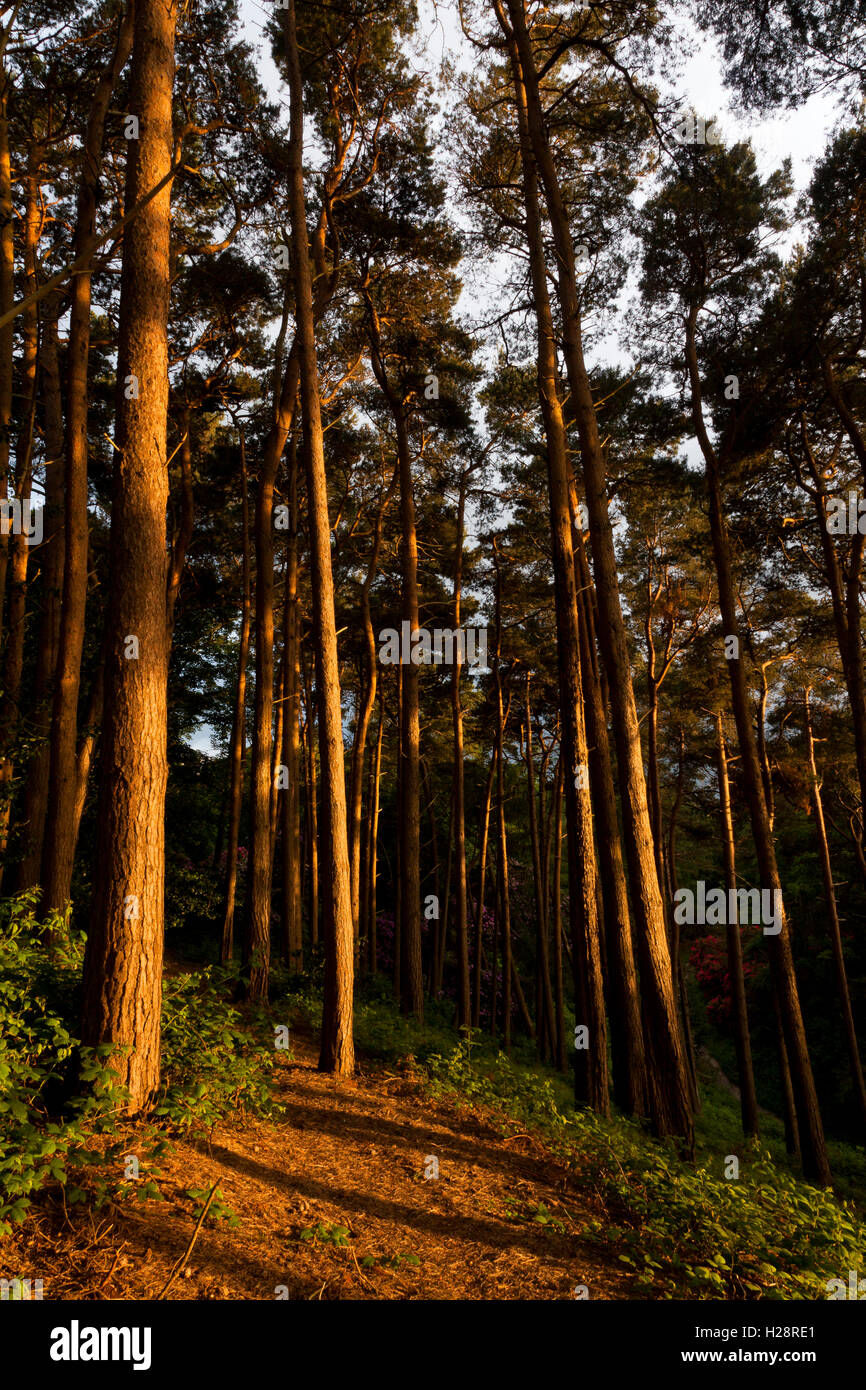 A footpath winding through tall Pine trees - Stock Image