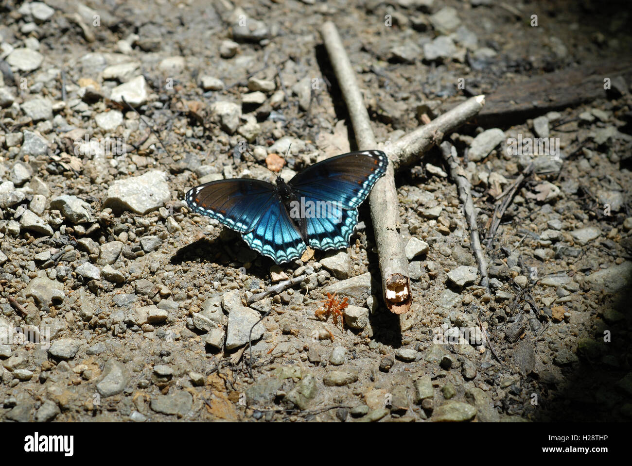 Limenitis arthemis astyanax - Red-spotted Purple butterfly - Stock Image
