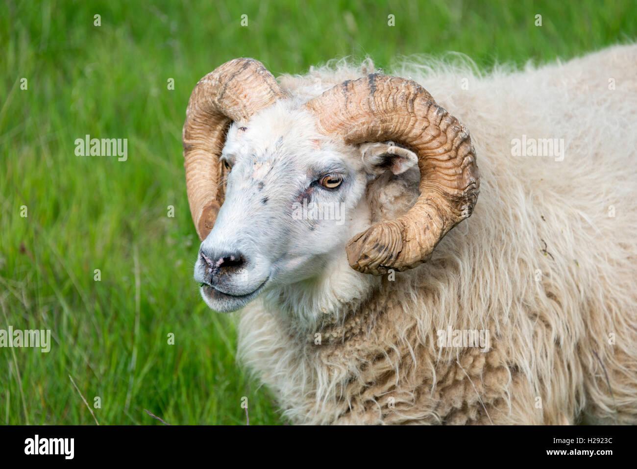 Icelandic sheep, portrait, Iceland Stock Photo