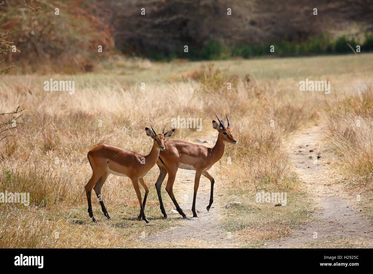 Impala (Aepyceros melampus), Lake Manyara National Park, Tanzania - Stock Image