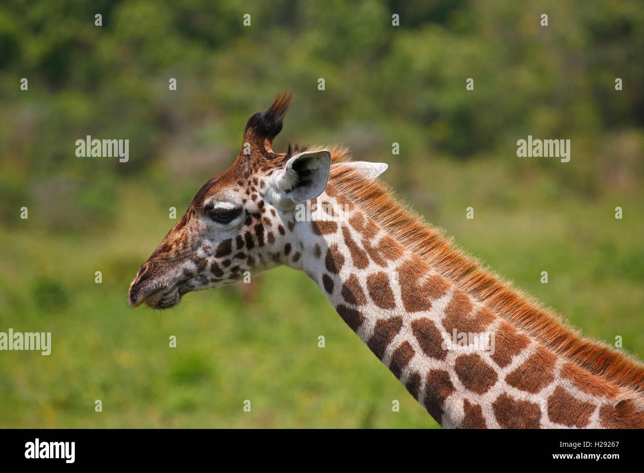 Maasai giraffe (Giraffa camelopardalis), portrait, Arusha National Park, Tanzania - Stock Image