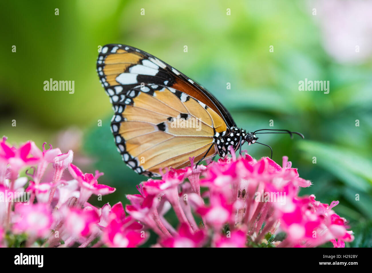 Monarch butterfly (Danaus plexippus) on pink flower, captive - Stock Image