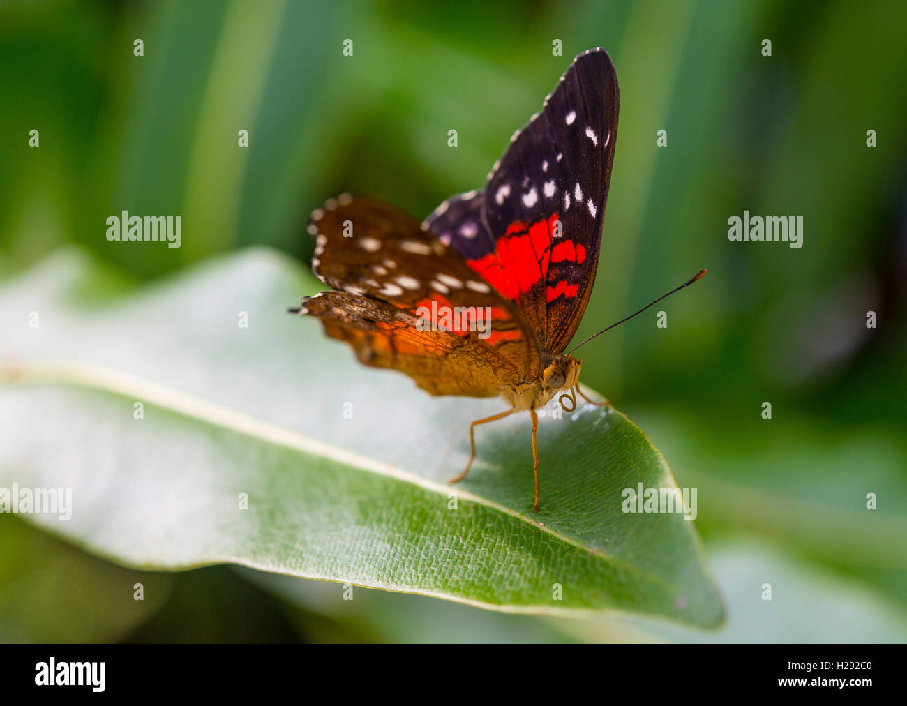 Brown or scarlet peacock (Anartia amathea) on leaf, captive - Stock Image