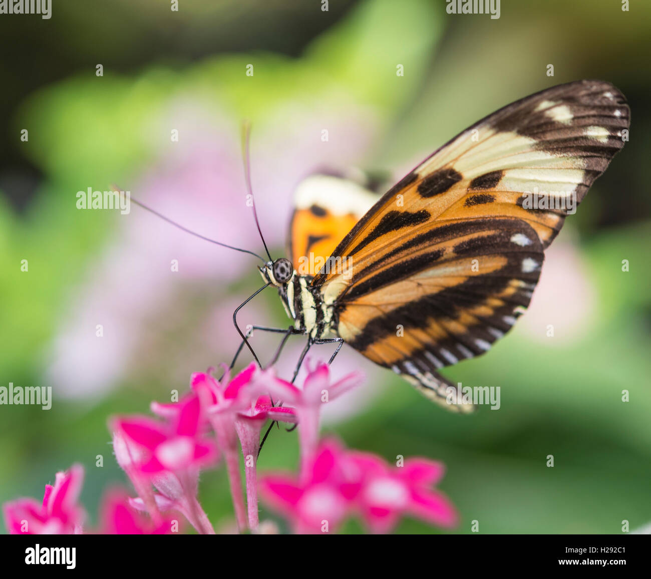 Xanthocles longwing (Heliconius xanthocles) sitting on pink flower, captive - Stock Image