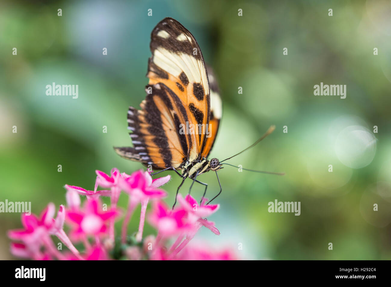 Xanthocles longwing (Heliconius xanthocles) sitting on pink flower, captive Stock Photo