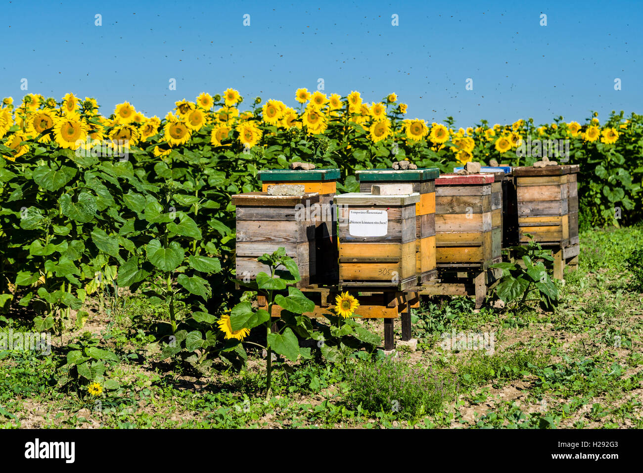 Beehives are placed at a field of common sunflowers (Helianthus annuus), in the air flying bees, Saxony, Germany - Stock Image
