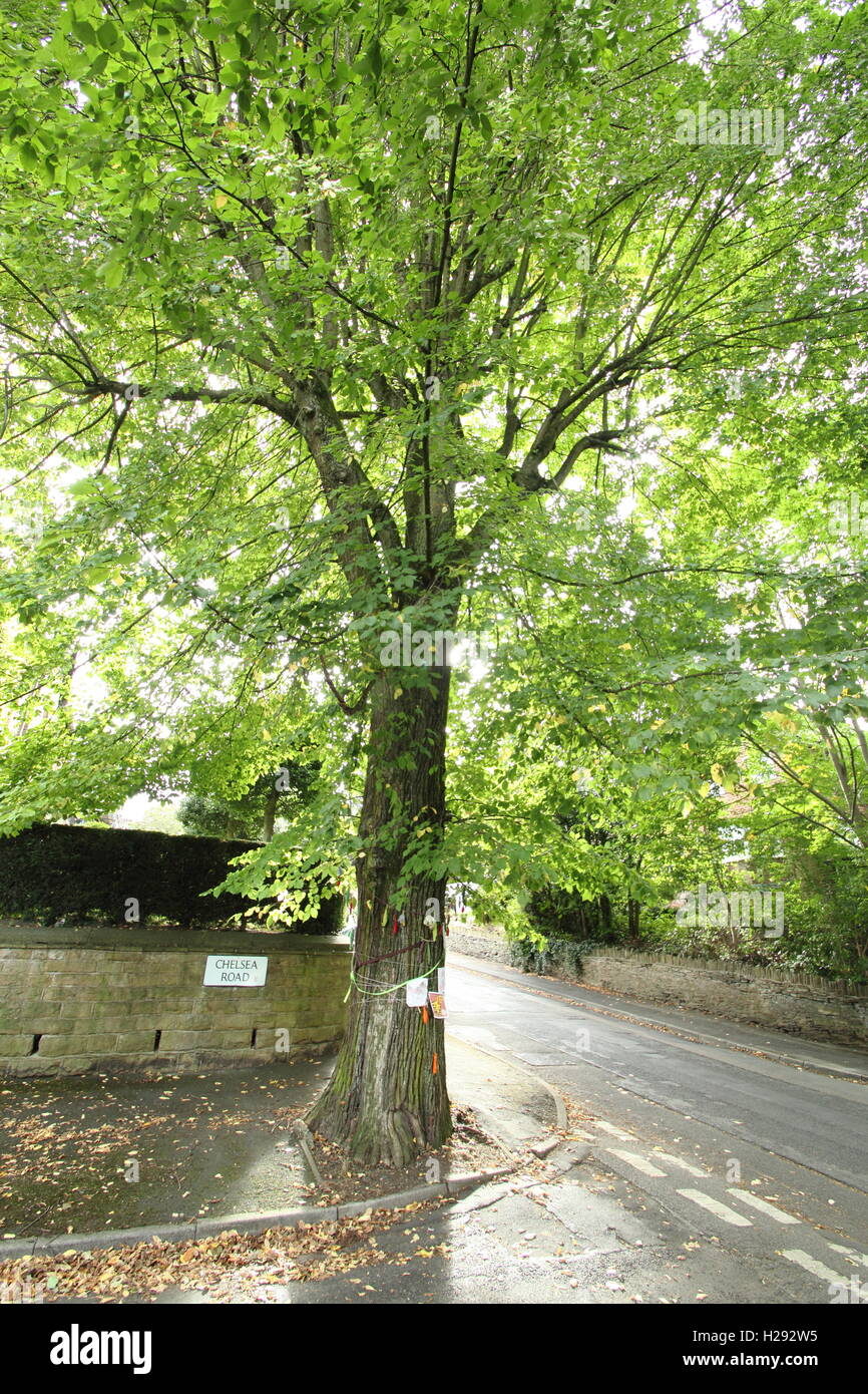 The Chelsea Road elm in Nether Edge, Sheffield. Mature elm earmarked for felling, host to white letter hairstreak - Stock Image