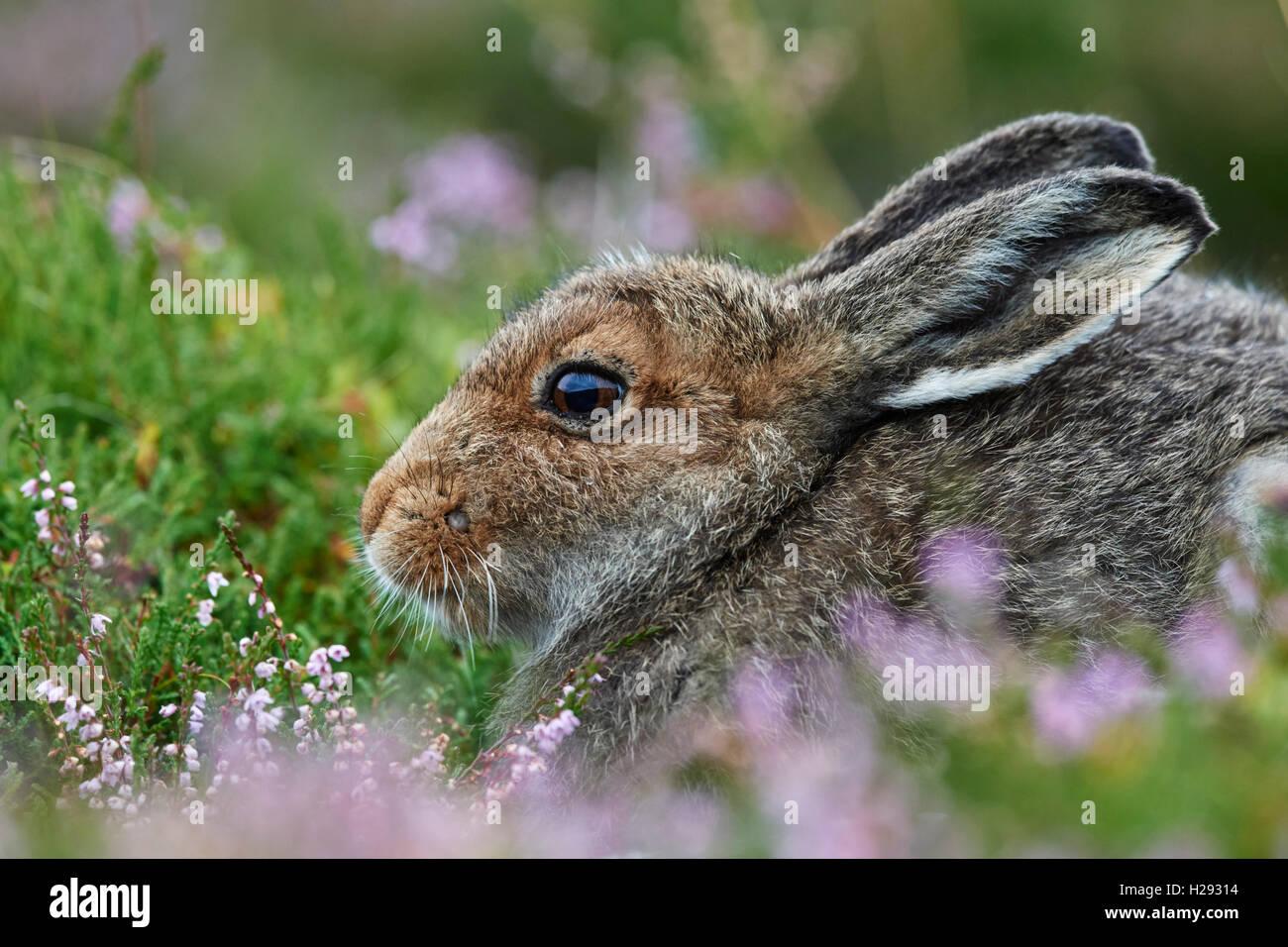 Mountain hare (Lepus timidus), Scotland, UK - Stock Image