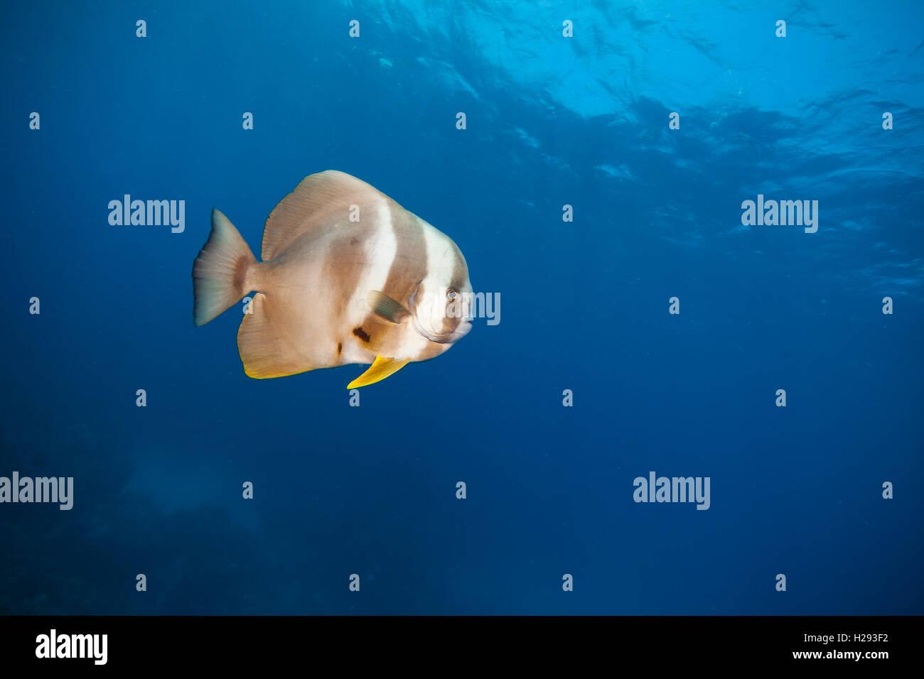 Beautiful flat fish flowing in Indian ocean - Stock Image