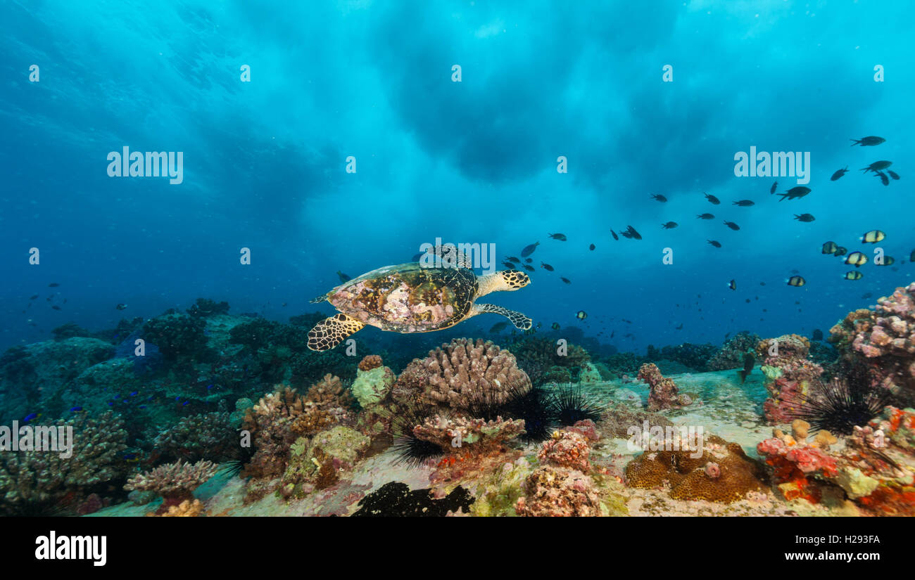 Hawksbill Sea Turtle flowing in Indian ocean - Stock Image