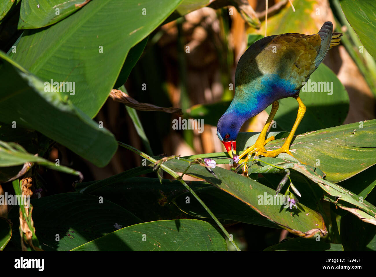 A purple gallinule,Porphyrio martinicus, nibbles on a favorite treat - flowers of the aquatic Fire Flag or Alligator Stock Photo
