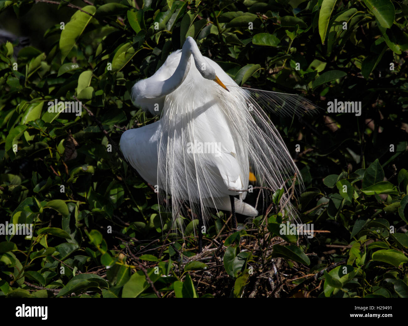 A White Egret assumes an artistic sinuous pose as it reaches back to clean its aigrettes with its long flexible - Stock Image